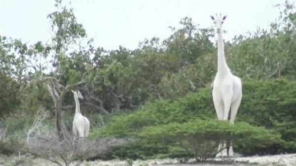 Caçadores matam duas das últimas três girafas brancas do mundo