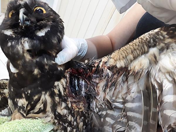 Cetas recebe aves atingidas por linhas com cerol