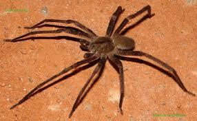 Saiba mais sobre a Aranha Armadeira, uma das mais populares e venenosas do Brasil